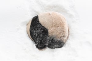 Giant panda in snow