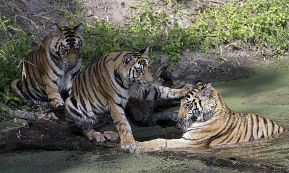 Bengal Tigers in Bandhavgarh national park, India.