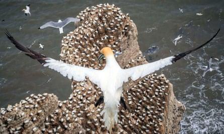 Nesting gannets.