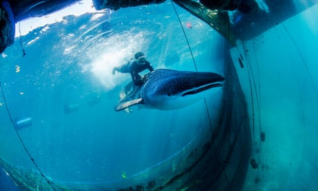 Rescued whale sharks released back into the ocean – in pictures