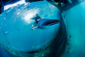 A diver guides the whale shark out of the sea pen.