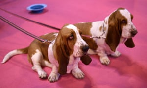 Lose The Puppy Fat Study Has A Bone To Pick With Crufts Dumpy Dogs