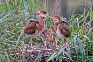 Purple heron (Ardea purpurea) squabs in their nest in Germany's Wagbachniederung nature reserve n Waghausel, near Karlsruhe