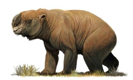The largest known marsupial, Diprotodon optatum, from the Pleistocene of Australia.