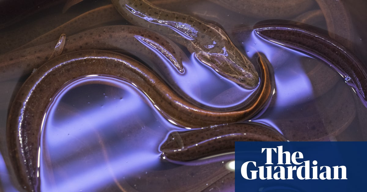 Eel effects: fears after release of exotic species into New York lake