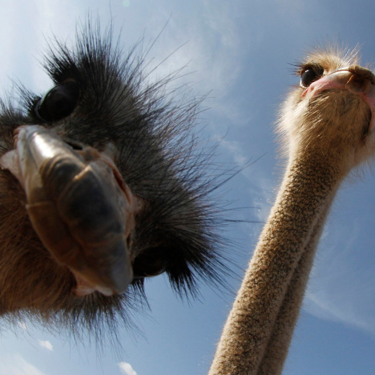 Life Won T Find A Way How An Ostrich Halted Plans For A Real Life Jurassic Park Science The Guardian