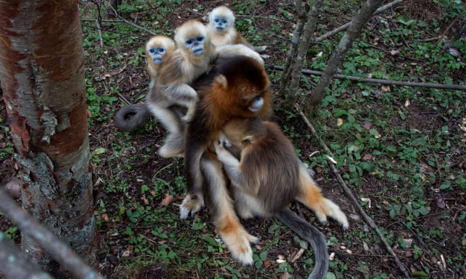 Golden Monkeys seen in Shengnongjia National Nature Reserve in China, Surpassing 1300, the amount of golden monkeys living in Shengnongjia National Nature Reserve has doubled since 1990. The rare golden monkeys are on the verge of extinction and live in groups led by one adult male.