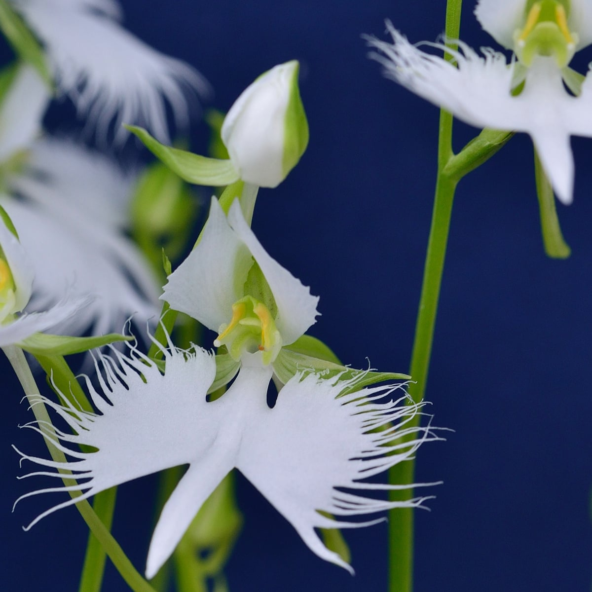 Plant Hardy Orchids For Dazzling Summer Blooms Gardening Advice The Guardian