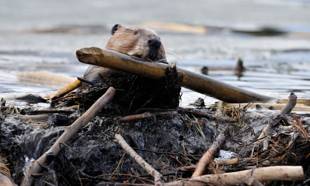 Beaver carrying food branch, courtesy Alamy
