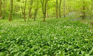 Ramsons carpet the woods