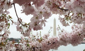 Cherry blossoms at the Tidal Basin with the Washington Monument in the background.