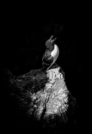 Under 12 category winner: In the Spotlight (razorbill), Skokholm Island, Pembrokeshire by Ollie Teasdale (age 10) from Caernarfon, Gwynedd, Wales