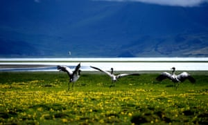 Tibetan, or black-necked cranes pictured by a lake in Tibet