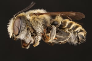 A male parallel leaf-cutter bee