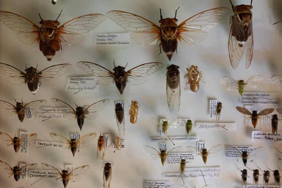 Cicada specimens