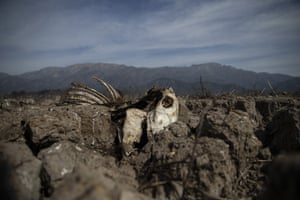 The carcass of a cow lies partially embedded in the drying lake bed of the Aculeo lagoon Chile.