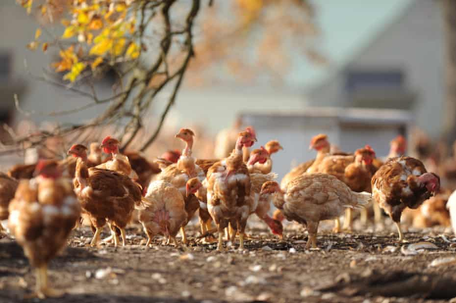 Chickens roam in an outdoor enclosure of a chicken farm in Vielle-Soubiran, south-western France.