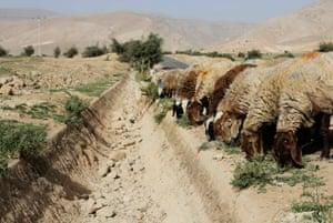 在杰里科附近的巴勒斯坦村庄al-Auja,绵羊在通常流着泉水的干涸的沟壑旁边吃草。