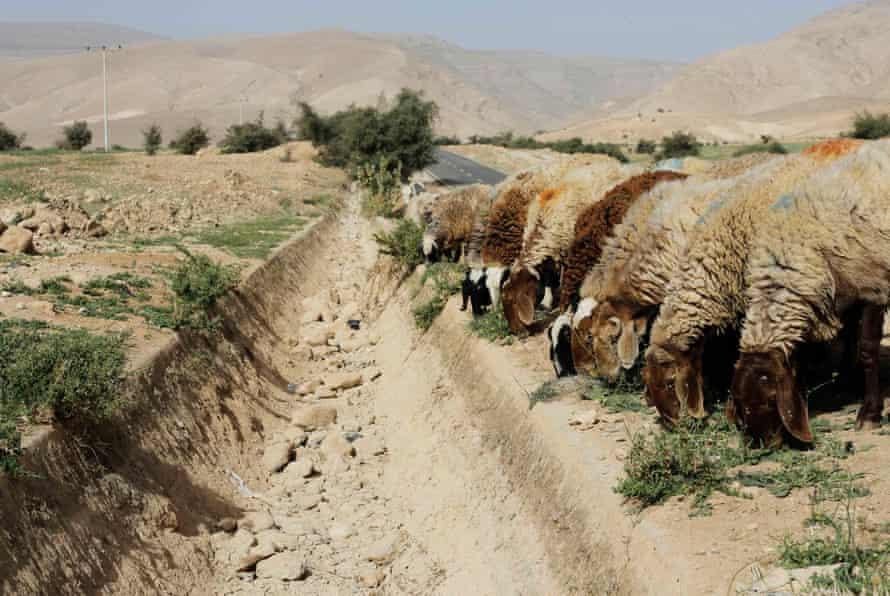 Sheep graze next to a dried-out gully usually flowing with spring water in the Palestinian village of al-Auja, near Jericho.