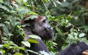 A silverback gorilla in the Republic of Congo's Nouabalé-Ndoki national park