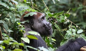 Researchers now estimate that there are more than 360,000 western lowland gorillas in the wild, approximately one third higher than earlier figures.