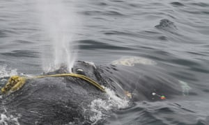 Kleenex, the North Atlantic right whale, with the rope entanglement that has impeded her capability to feed and breed.