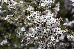 The manuka flower, which attracts bees and beekeepers