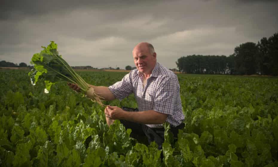 Sugar beet farmer Ed Lankfer inspecting his crop in Wereham, Norfolk.