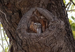 An owl sits in a tree hole in Ajmer in the Indian state of Rajasthan