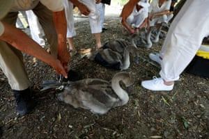 Officials record and examine cygnets and swans