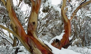Up a gum tree: eucalyptus trees may be exotic but they're at home in the UK.