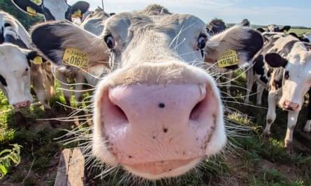 White cow close up portrait on pasture.