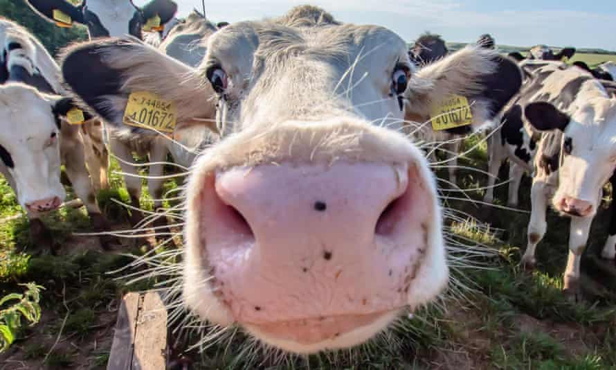 Close-up of a cow on UK farm