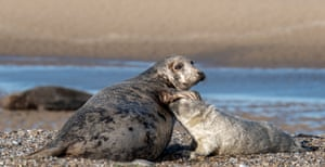A seal with her pup in Blakeney Point. The National Trust's Norfolk nature reserve has blossomed to become England's largest grey seal colony since the first pup was spotted there in 1988, with the numbers born increasing from just 25 in 2001 to 3,399 in 2019. The increase is attributed to low levels of disturbance and mortality during the first key weeks of life as well as a lack of natural predators