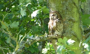 A female tawny owl