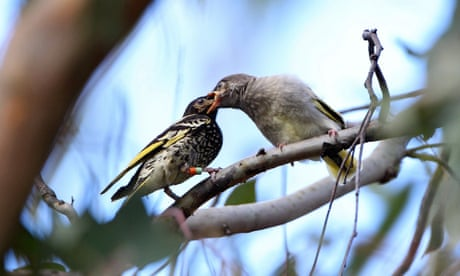 Site of planned Hunter coal plant is endangered bird's only NSW breeding area