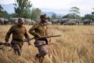 Indian forest guards look on as a herd of elephants gathers in a paddy field in the village of Bahampur in Nagaon district, Assam, India