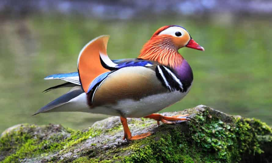 A wild male Mandarin (Aix galericulata) in the Wyre Forest, Worcestershire, England.