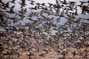 A flock of common teal fly across wetland on the outskirts of Srinagar, India