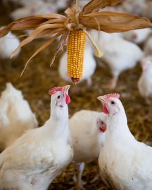 Chicken interacting with sweet corn in a barn on a Freedom Food certified chicken farm. Somerset. United Kingdom.