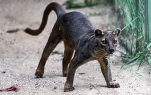 Fossa (Cryptoprocta ferox) from Madagascar are one of many feliform carnivores you may not have heard about.