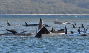 A pod of about 250 whales that are believed to be stranded on a sandbar at Macquarie Harbour on Tasmania's west coast on Monday