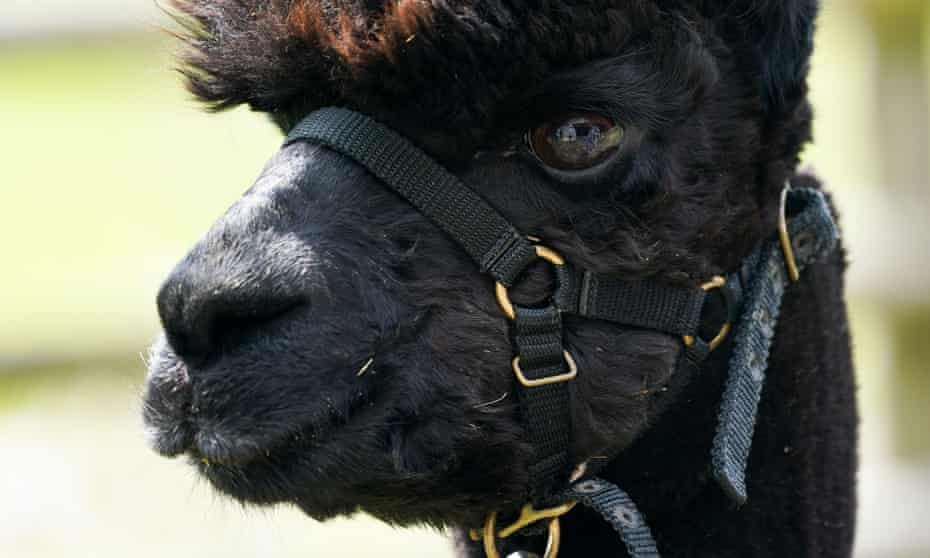 Geronimo the alpaca is set to be slaughtered after testing positive for bovine TB.