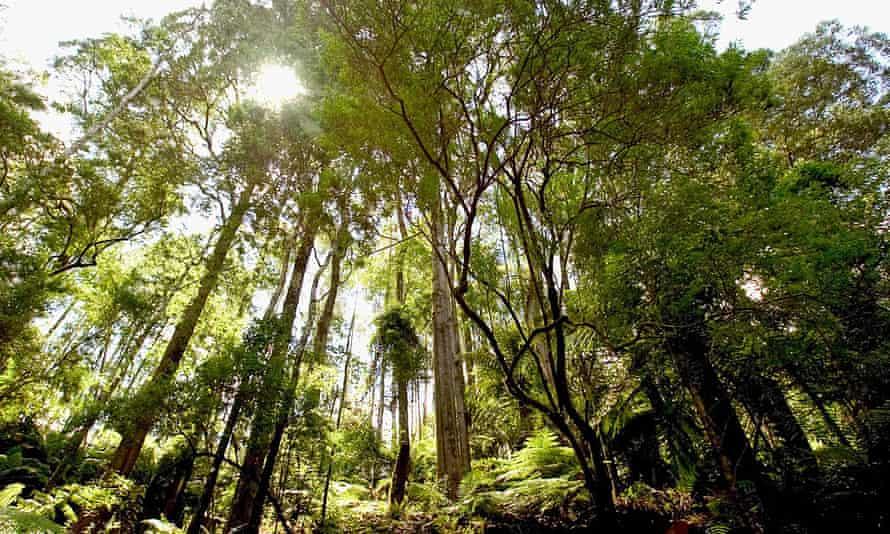 Strzelecki Ranges rainforest in Latrobe, Victoria