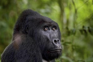 Silverback gorilla Rafiki in Uganda's Bwindi Impenetrable Forest national park in 2019