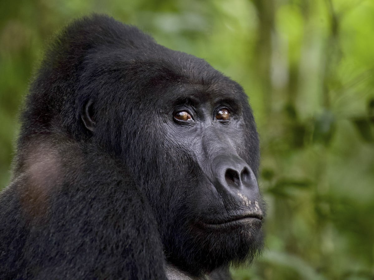 Landmark ruling sees Ugandan poacher jailed for killing Rafiki the gorilla | Global development | The Guardian