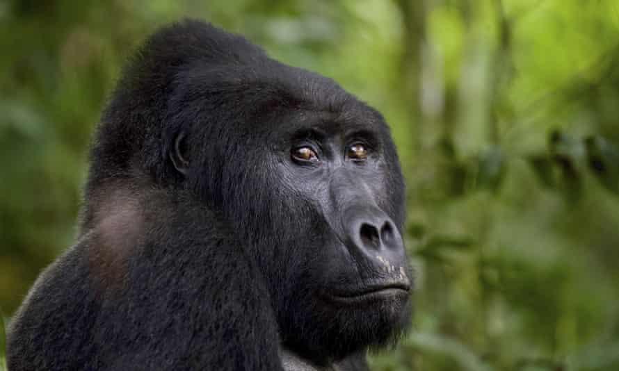 Rafiki the silverback gorilla