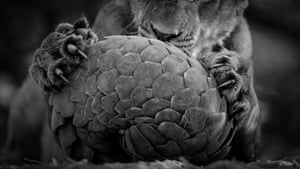 angolins usually escape unscathed from big cats (though not from humans, whose exploitation of them for the traditional medicine trade is causing their severe decline). But these lions just wouldn't give up. 'They rolled it around like a soccer ball,' says Lance. 'Every time they lost interest, the pangolin uncurled and tried to retreat, attracting their attention again.' Spotting a young lion holding the pangolin ball on a termite mound close to the vehicle, Lance focused in on the lion's claws and the pangolin's scratched scales, choosing black and white to help simplify the composition. It was14 hours before the pride finally moved off to hunt. The pangolin did not appear to be injured, but it died shortly after, probably not just from the stress of capture but also from being out in the heat all day.