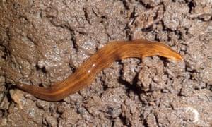 The Obama flatworm (Obama nungara)