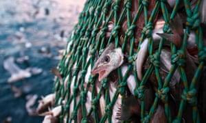 Fishing trawler net with fish